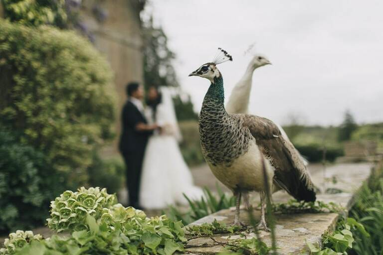Wedding Photography Northbrook Park Peacocks